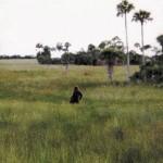スカンクエイプ、刺激臭を放つフロリダの猿人!