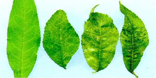 PPV leaf PlumPoxVirus 600x300 プラムポックスウイルスが猛威を振るう。日本中で梅の木を伐採。