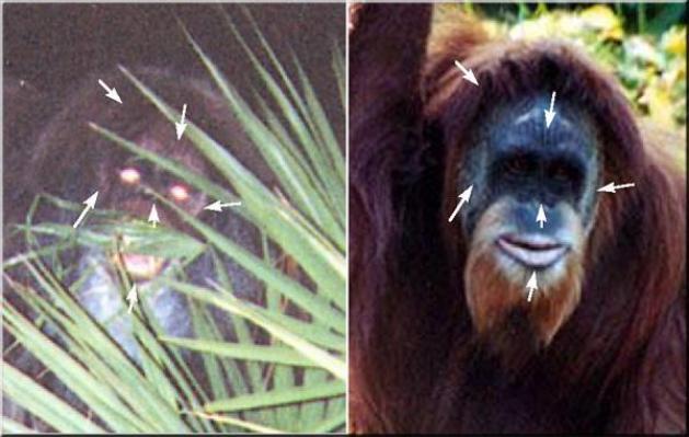 ape HJtnas4z6y スカンクエイプ、刺激臭を放つフロリダの猿人!