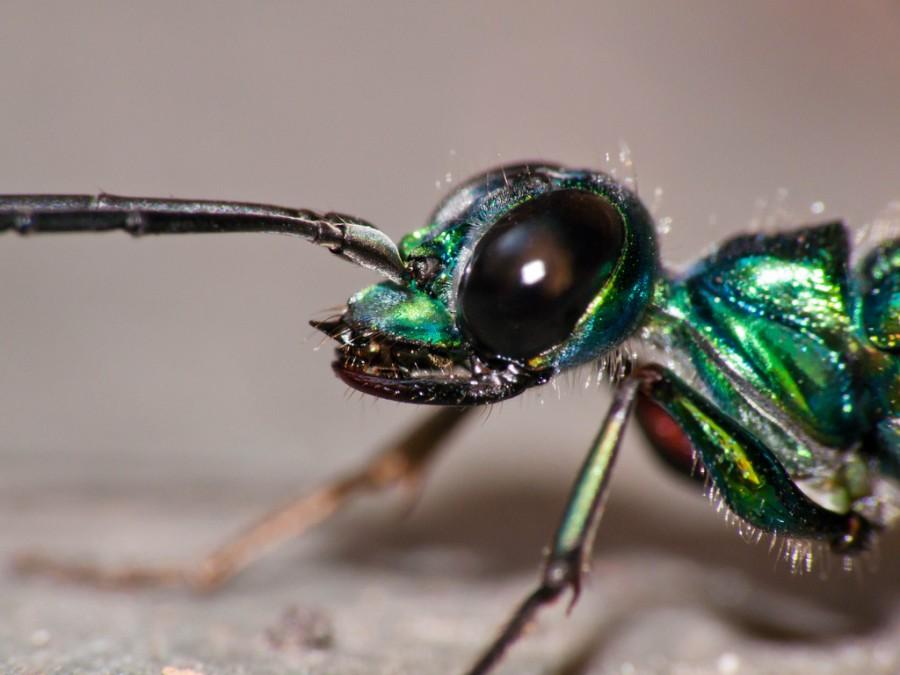 izymrydnaya osa07 900x675 エメラルドゴキブリバチ、ゴキブリを生け捕る超頭脳派ハンター!