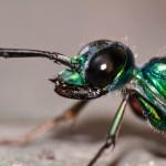 エメラルドゴキブリバチ、ゴキブリを生け捕る超頭脳派ハンター!