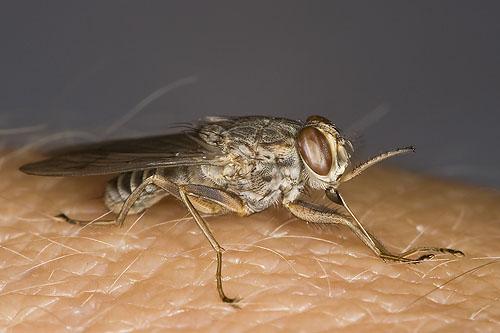 male tsetse fly js8q9301 ツェツェバエの恐怖。永遠の眠りへといざなう虫。
