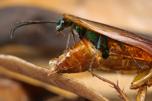 na terea unui extraterestru 1808 エメラルドゴキブリバチ、ゴキブリを生け捕る超頭脳派ハンター!