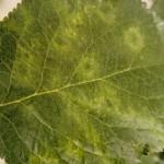 プラムポックスウイルスが猛威を振るう。日本中で梅の木を伐採。