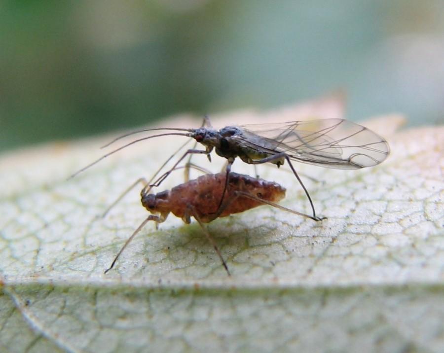 punctipennis 2mf 900x716 プラムポックスウイルスが猛威を振るう。日本中で梅の木を伐採。