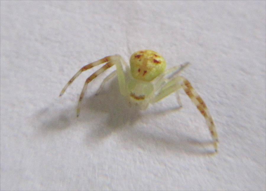 spider1 ハナグモ、奇妙な見た目の人面グモ。