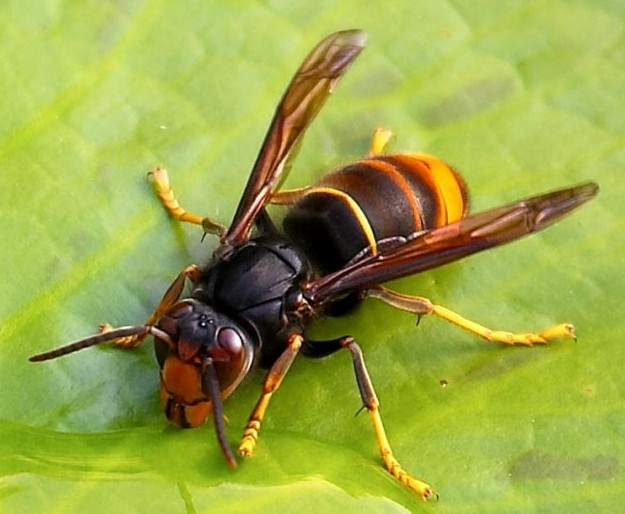 vespa velutina ツマアカスズメバチが日本に上陸。対馬では生態系が乱れる恐れ。