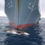 調査捕鯨訴訟で日本が敗訴。南極での捕鯨は商業目的であるという判決が下される。