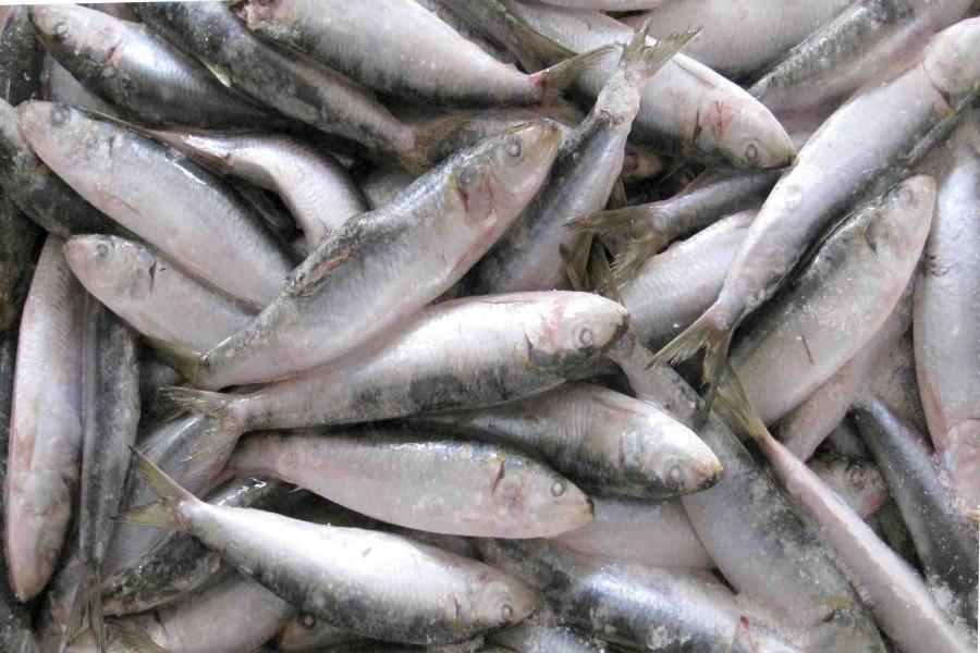 Best Canned Sardine 900x600 レジームシフトが原因でマイワシが高級食材になる可能性が浮上。