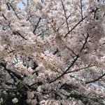 桜が見ごろを迎えるも、雨や風の影響が懸念される。