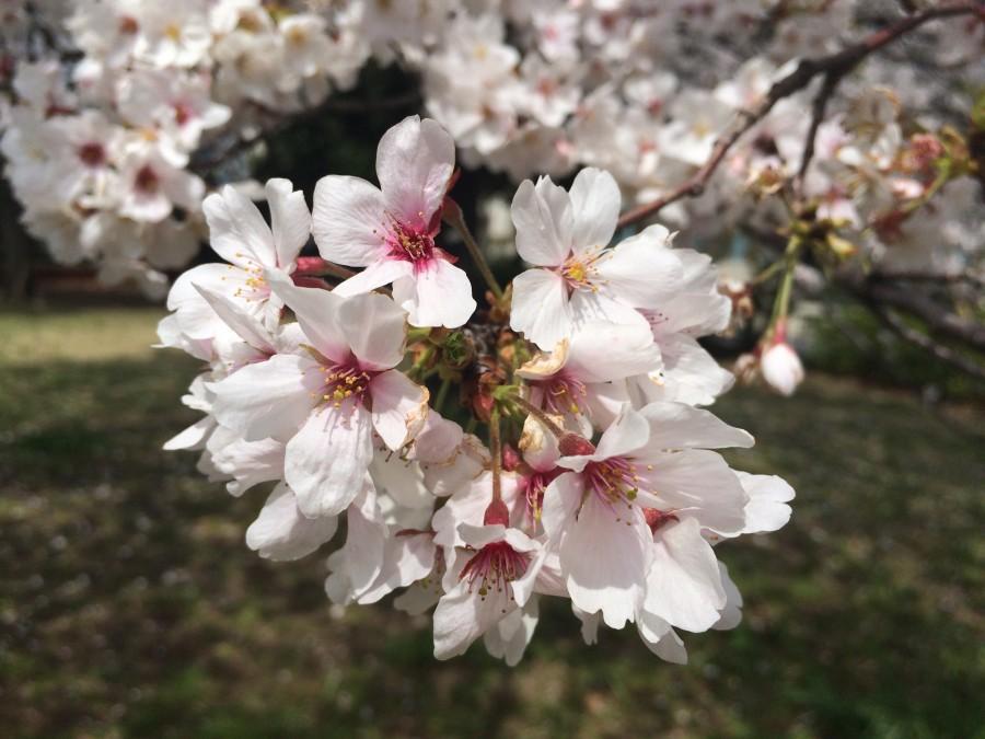 IMG 0112 900x675 桜が見ごろを迎えるも、雨や風の影響が懸念される。