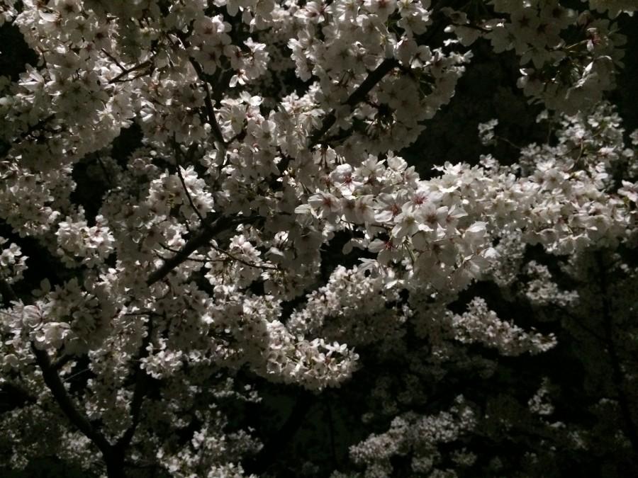 IMG 0125 900x675 桜が見ごろを迎えるも、雨や風の影響が懸念される。