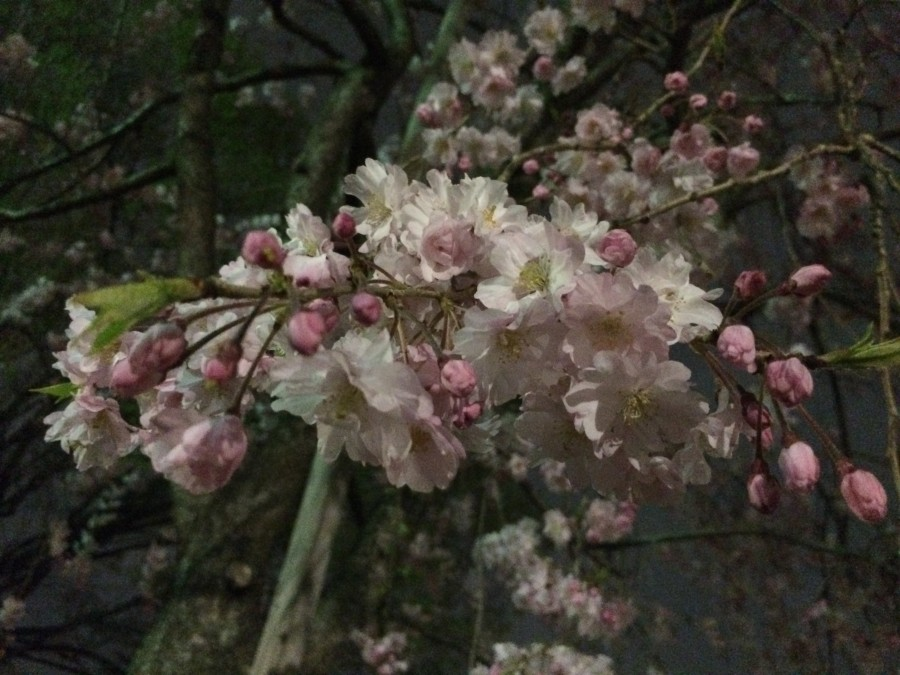 IMG 0131 900x675 桜が見ごろを迎えるも、雨や風の影響が懸念される。