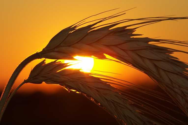 food harvests dragged global warming 55 地球温暖化による食糧危機が警告される!