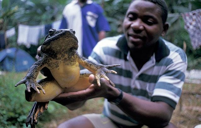 4 28 1 ゴライアスガエル、世界最大のカエル!