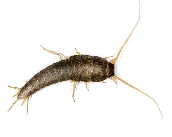 93861 セイヨウシミ、紙を食い荒らす害虫。