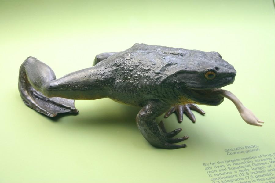 Goliath Frog 900x600 ゴライアスガエル、世界最大のカエル!