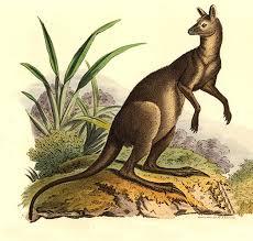 images ジャイアントカンガルー、絶滅したはずの生物。
