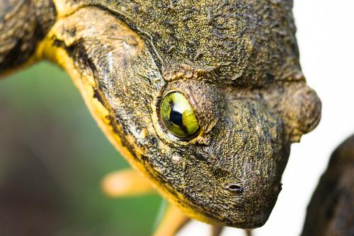 medium ゴライアスガエル、世界最大のカエル!