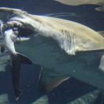 大洗水族館でハプニングが、シロワニがネムリブカを捕食!