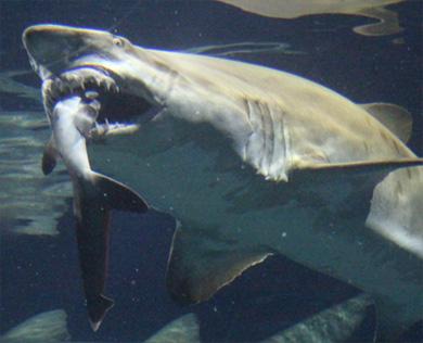 mmi same 02 大洗水族館でハプニングが、シロワニがネムリブカを捕食!