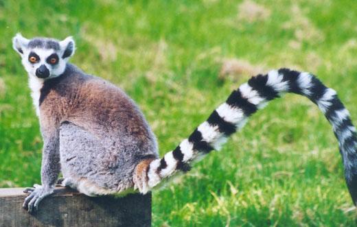 ring tailed lemur レムリア大陸、インド洋の巨大大陸。