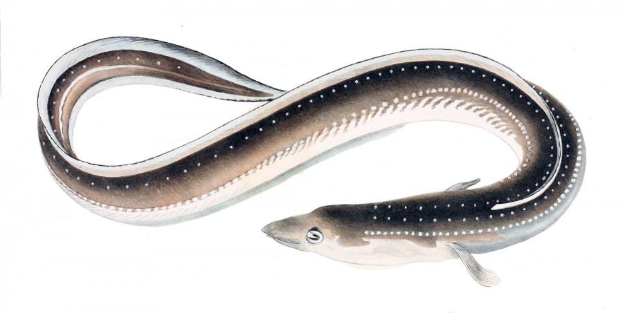 Anguilla japonica 1856 900x453 ニホンウナギが絶滅危惧種に指定される!今後の価格に影響が出る可能性も。