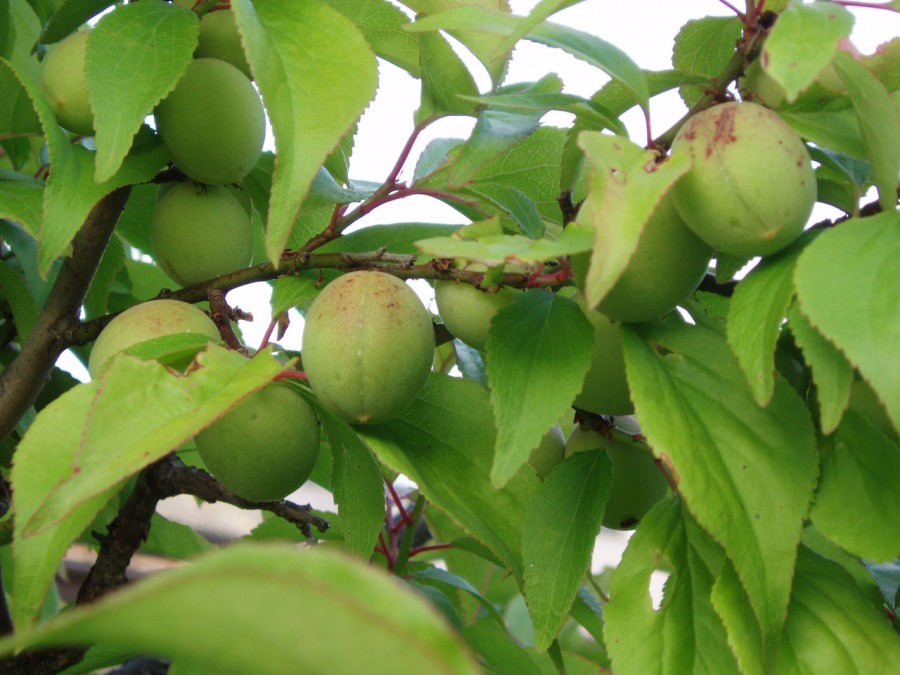 Fruits of Japanese plum 900x675 梅の毒に要注意!
