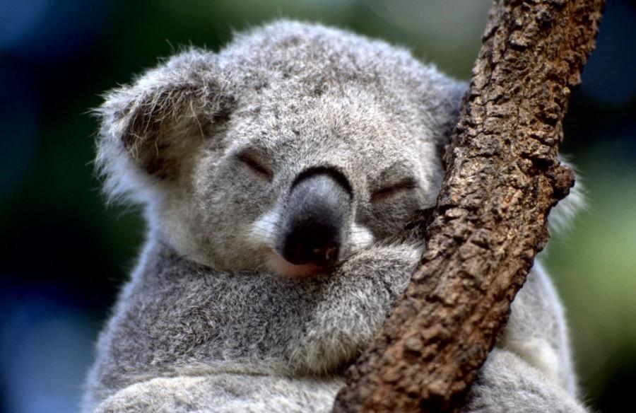KOALA 900x584 徹夜のW杯は健康に悪い。適度な睡眠を。