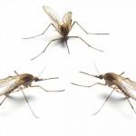 蚊を遺伝子操作!95%を雄にして後に全滅へ!
