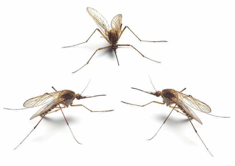 sterile male mosquitoes battle malaria 88 蚊を遺伝子操作!95%を雄にして後に全滅へ!