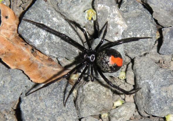 57c4c2525ac9 590x411 セアカゴケグモが石川県金沢市で発見される!日本中でポピュラーな毒グモに。