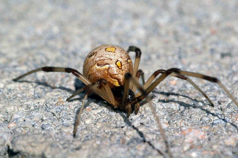 69660836 9KV8RFzq ハイイロゴケグモ。日本にやって来た危険外来種。