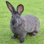 巨大ウサギが食糧危機の救世主となるのか。