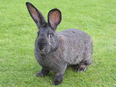Rabbit Vet South Leicestershire2 巨大ウサギが食糧危機の救世主となるのか。