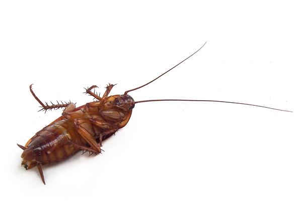 cockroach 600x405 ゴキブリ喘息(アレルギー)が流行する可能性!アメリカでは既に流行。