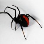 セアカゴケグモが石川県金沢市で発見される!日本中でポピュラーな毒グモに。