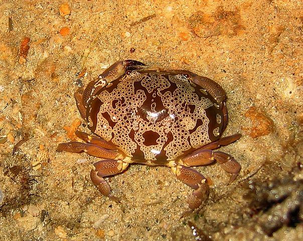 604px Atergatis floridus2 猛毒を持つスベスベマンジュウガニ。カニはカニでも食べられない。