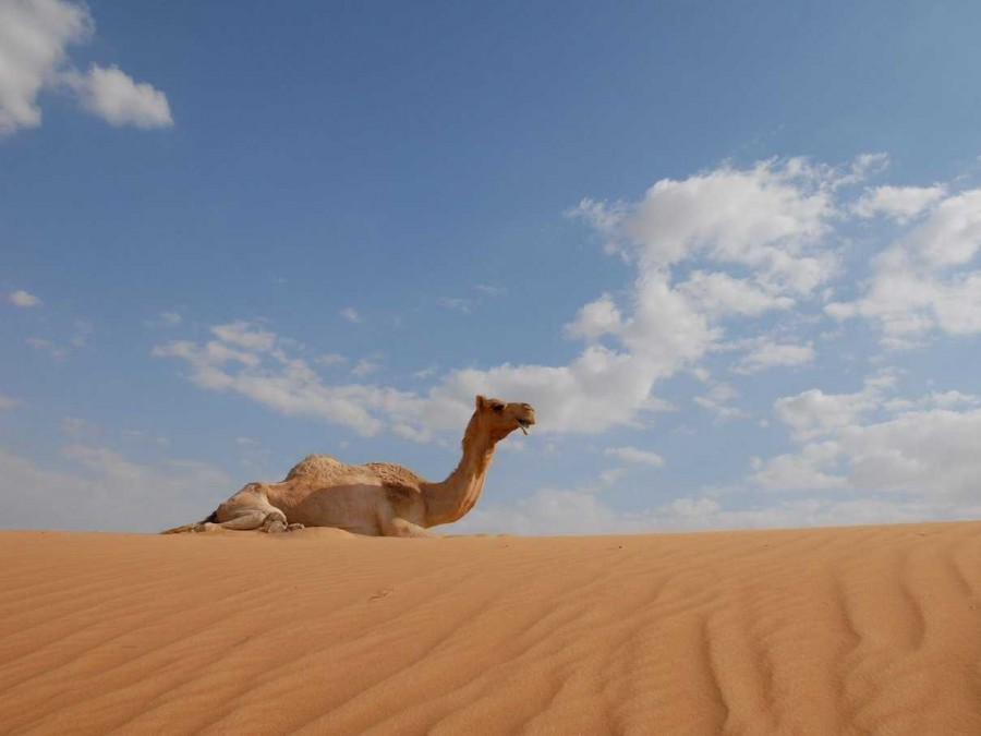 after a year scientists have linked the deadly mers virus to camels 900x675 MERSに要注意!WHOも警鐘を鳴らす。