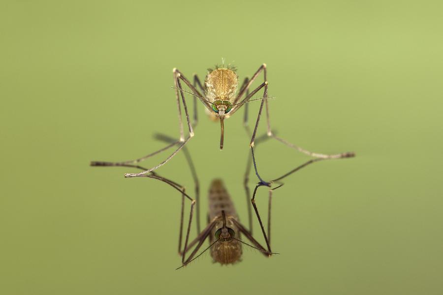 mosquito culicidae freshly hatched ingo arndt 蚊が減っている?猛暑による水溜まりの減少が原因か。
