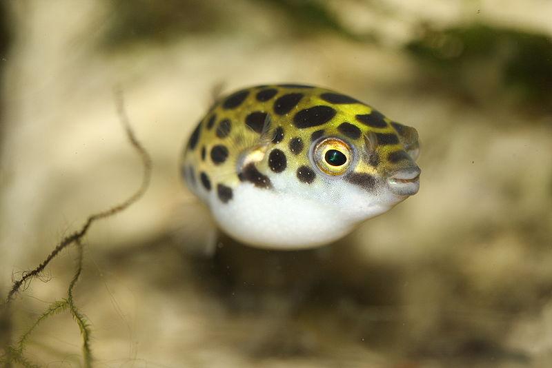 puffer fish7 フグの毒に気を付けろ!しかし一般人には限界が。