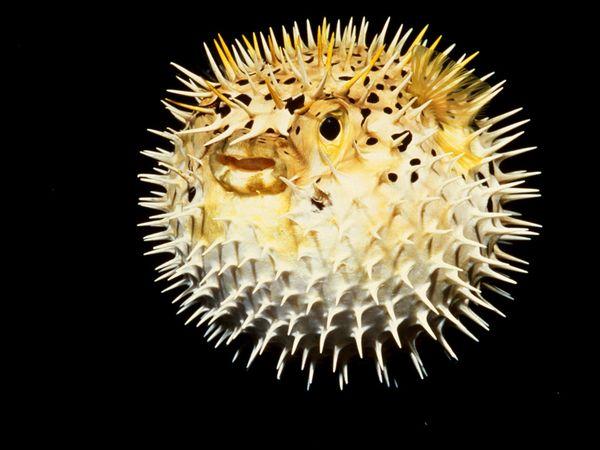 pufferfish 673 600x450 フグの毒に気を付けろ!しかし一般人には限界が。