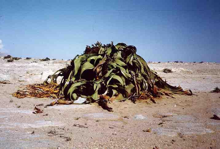 05 ウェルウィッチア。砂漠で1000年生きる植物。