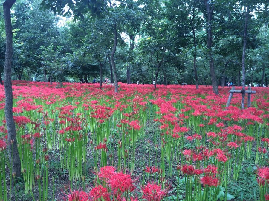 IMG 4977 900x675 彼岸花(曼珠沙華)が最盛期を迎える。埼玉県日高市巾着田。