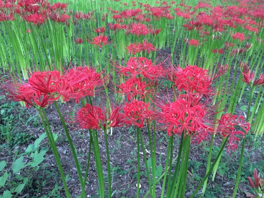 IMG 4984 900x675 彼岸花(曼珠沙華)が最盛期を迎える。埼玉県日高市巾着田。