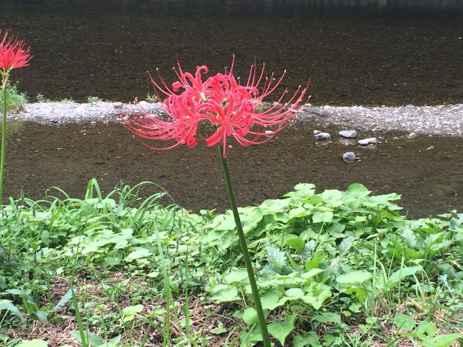 IMG 4986 900x675 彼岸花(曼珠沙華)が最盛期を迎える。埼玉県日高市巾着田。