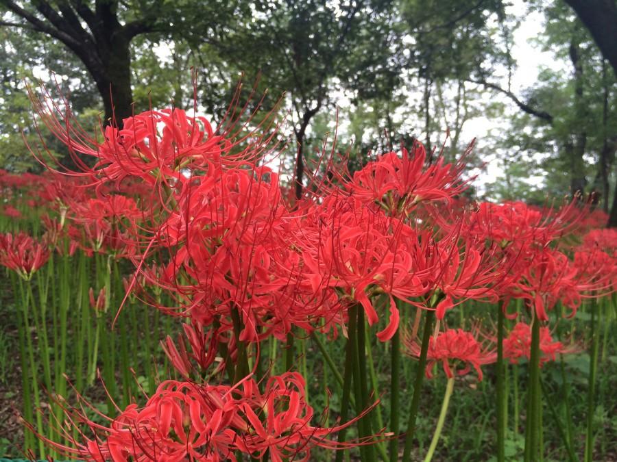 IMG 4989 900x675 彼岸花(曼珠沙華)が最盛期を迎える。埼玉県日高市巾着田。