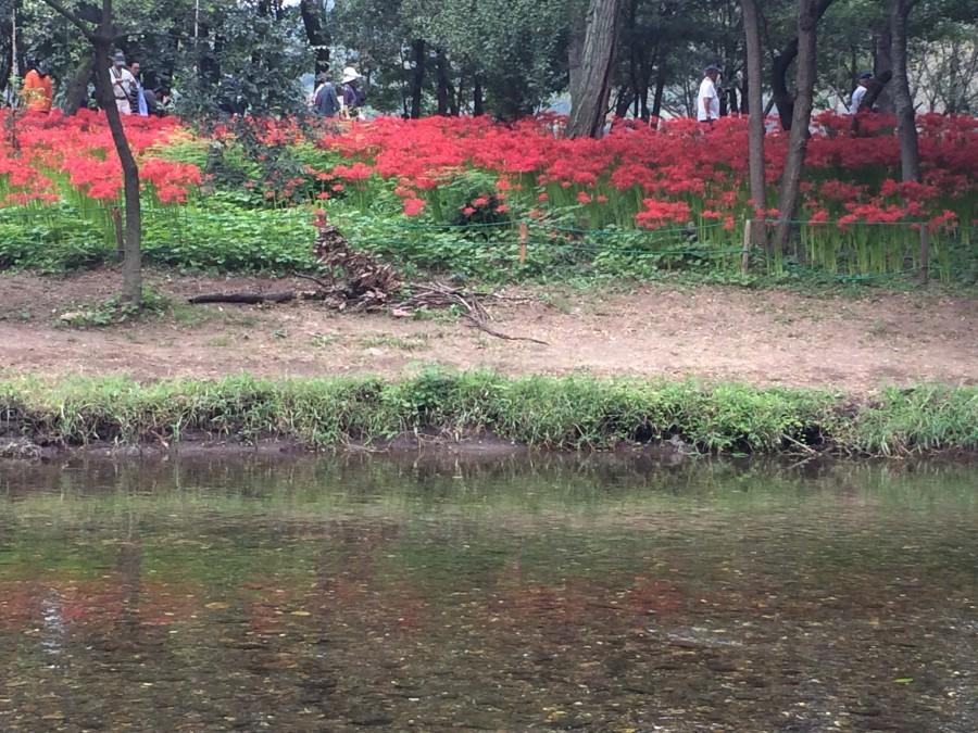 IMG 4992 900x675 彼岸花(曼珠沙華)が最盛期を迎える。埼玉県日高市巾着田。