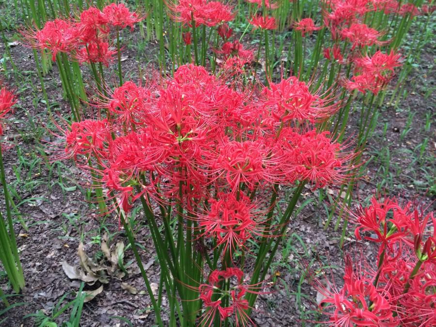IMG 5010 900x675 彼岸花(曼珠沙華)が最盛期を迎える。埼玉県日高市巾着田。