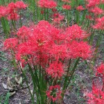 彼岸花(曼珠沙華)が最盛期を迎える。埼玉県日高市巾着田。